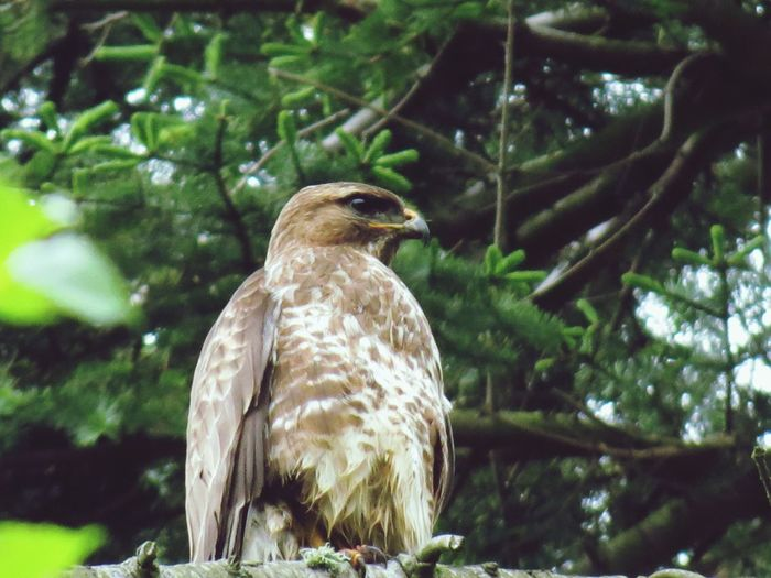 Low angle view of eurasian buzzard perching on branch