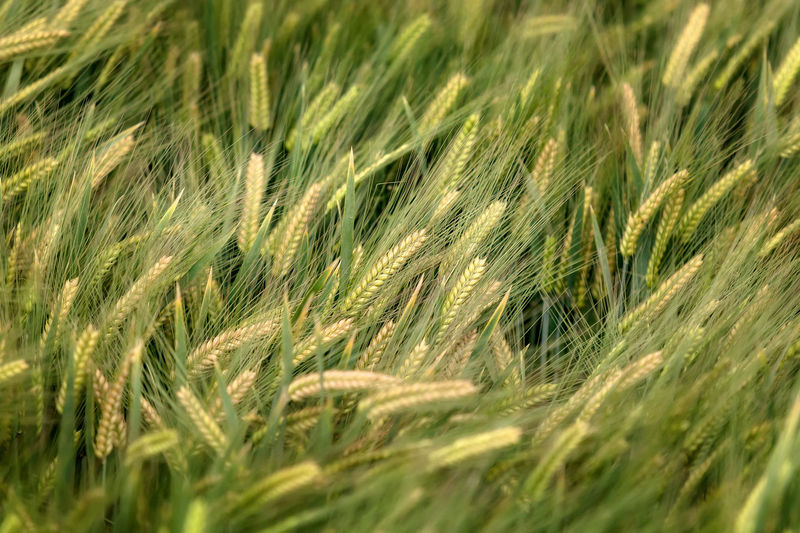 background of barley field in Yunnan; China. Agriculture Backgrounds Beauty In Nature Cereal Plant Close-up Crop  Day Ear Of Wheat Farm Field Food Freshness Full Frame Grass Green Color Growth Nature No People Outdoors Plant Rural Scene Rye - Grain Wheat