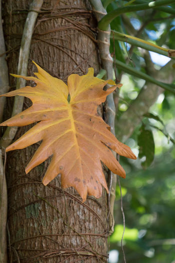 Alturas de Banao: Just a leaf Alturas De Banao Autumn Beauty In Nature Beauty In Nature Branch Change Close-up Cuba Cuba Collection Day Growth Leaf Leaves Maple Leaf National Park Nature Nature No People Outdoors Plant Tree Yellow