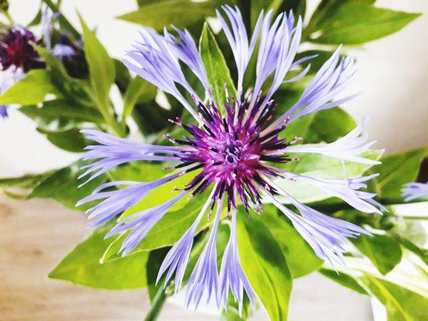 Kornblume Flower Head Flower Passion Flower Purple Petal Springtime Close-up Plant EyeEmNewHere