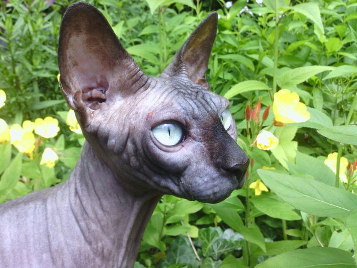 Close-Up Of Sphynx Hairless Cat By Plants On Field