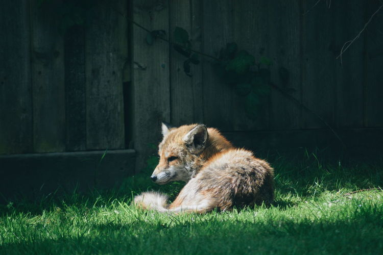 Fox lying on grass