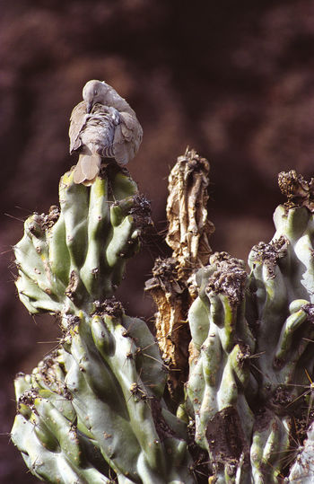 Cactus Taube Bird Close-up Day Focus On Foreground Green Color Growth Nature No People Plant Selective Focus Still Life Sunlight Vegetable