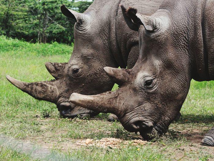 In the wild.The Rhinos. The Great Outdoors - 2018 EyeEm Awards Rhinoceros Safari Animals Close-up Grass Wildlife