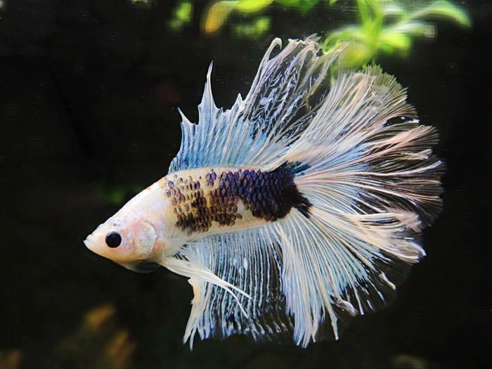 One Animal Animal Themes Fish Swimming Animals In The Wild Animal Wildlife Underwater Water Sea Life Nature Close-up No People UnderSea Beauty In Nature Indoors  Day Bettafish Bettafishcommunity Betta Fish Betta Lovers Betta