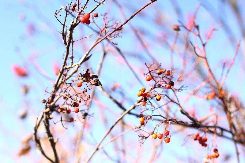 Low angle view of rowanberries on tree