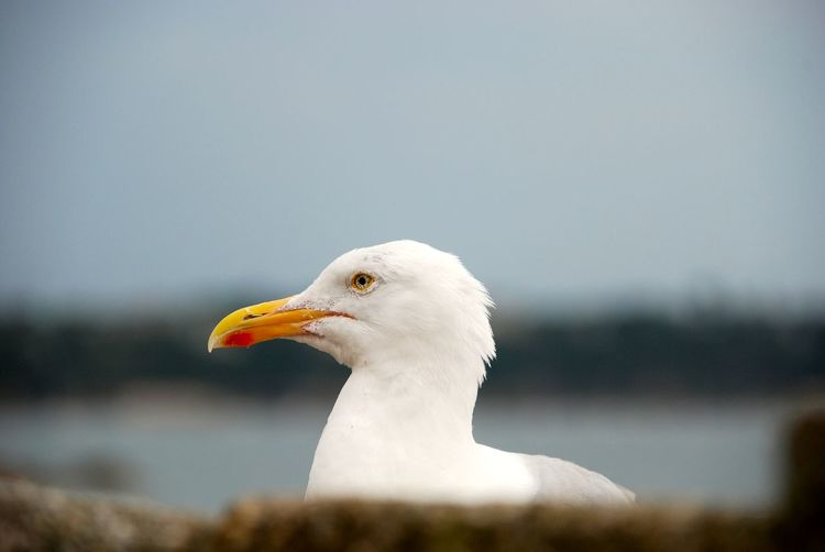 Animal Themes Animals Animals In The Wild Beak Bird Birds Day Depth Of Field EyeEm Best Shots Feather  Grumpy Nature No People One Animal Outdoors Seagull Side View White Bird Wildlife Animal Head  Perspective From Where I Stand Headshot Animal