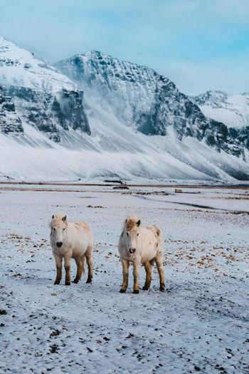 Horses on snowcapped mountain against sky