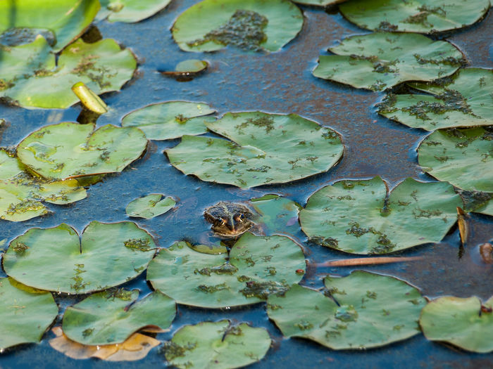 Frog in a pond covered with water lily leaves Leaf Plant Part Green Color Full Frame No People Nature High Angle View Day Backgrounds Water Beauty In Nature Close-up Outdoors Leaves Lake Floating On Water Plant Animal Animal Themes Wildlife Wild Animal Frog Water Lily Pond Water Lily Leaves
