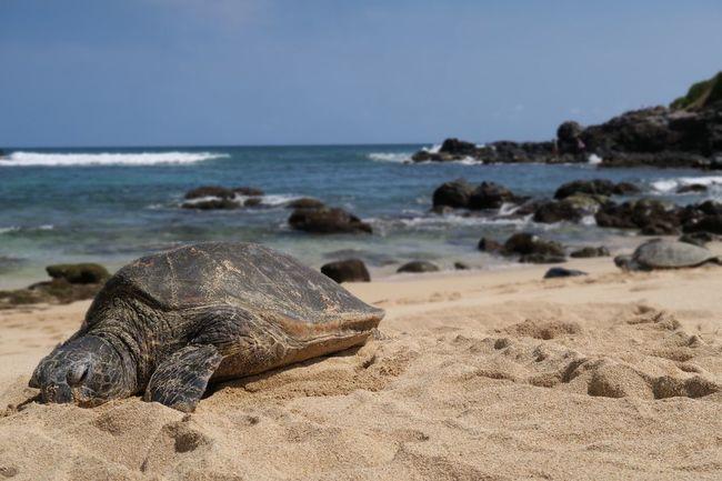 Sea Turtle sunbathing Ocean EyeEm Selects EyeEm Nature Lover #eyembestshot #Nature  #turtle #travel Sea Land Water Sand Sky Horizon Over Water