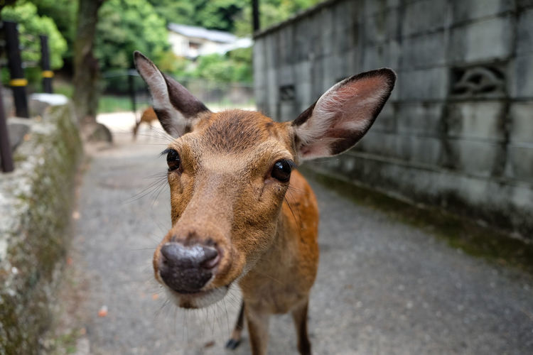 Look inside the lense. Deer FUJIFILM X-T1 Japan Japan Photography Nature Animal Animal Themes Biche Close-up Fuji Fujifilm Looking At Camera Mammal One Animal Portrait Wild Wildlife