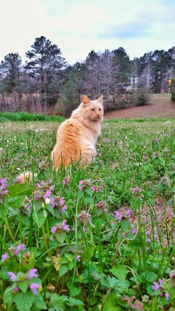 Spring is in the air, even the animals enjoy the sweet smell of the wildflowers. How beautiful the fields are covered in them. Cat Orange Cat Orange Tabby Cat Animal Themes Mammal One Animal Plant Domestic Animals Sky Pets No People Grass Outdoors Nature Flower Day Beauty In Nature Pet Wildflowers Field Of Flowers Background Family Furfamily Beauty In Nature Springtime