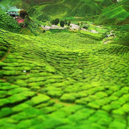 Cameronhighlands Teaplantation Nexttrip Holiday Vacation Jalanjalancarimakanan Enjoy Sonyexperia Landscape Green Tea