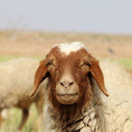 She also looks kind. Sheep 🐑 Nature Nature_shooters Naturallandscape Naturelovers Landscape Landscapelovers Travel Traveling Mustseeiran Mustseeiran_insta Esfandabad Yazd Farm