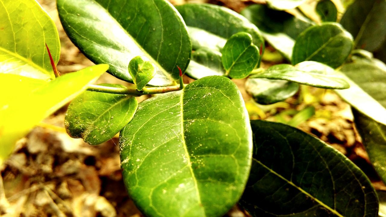 leaf, green color, growth, close-up, nature, plant, no people, day, beauty in nature, freshness, outdoors, animal themes