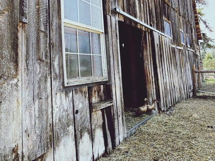 These two were totally hanging out together while we visited and explored the farm. Architecture Built Structure Building Exterior Day No People Building Window Wall - Building Feature Entrance Nature Outdoors Sunlight Pattern Weathered House Security Old Damaged Abandoned Door