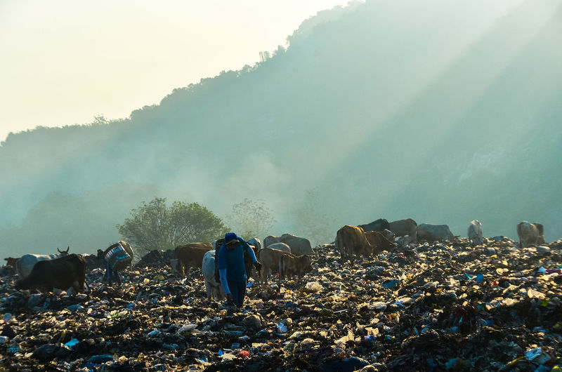 Young man with cows standing at landfill