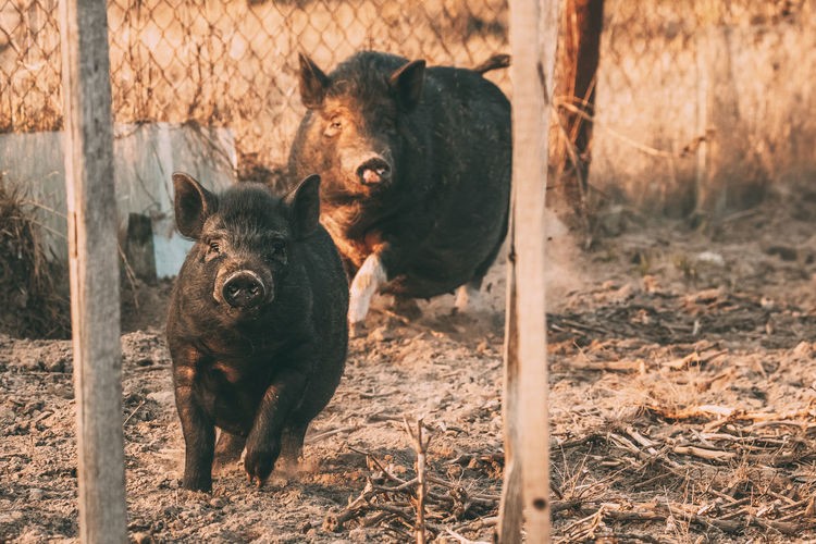 Two Household Black Pigs Running In Farm Yard. Pig Farming Is Raising And Breeding Of Domestic Pigs. It Is A Branch Of Animal Husbandry. Pigs Are Raised Principally As Food Animal Two Household Black Pigs Running Farm Yard Farming Raising Breeding Branch Husbandry Principally Food Field Pets Pig Boundary