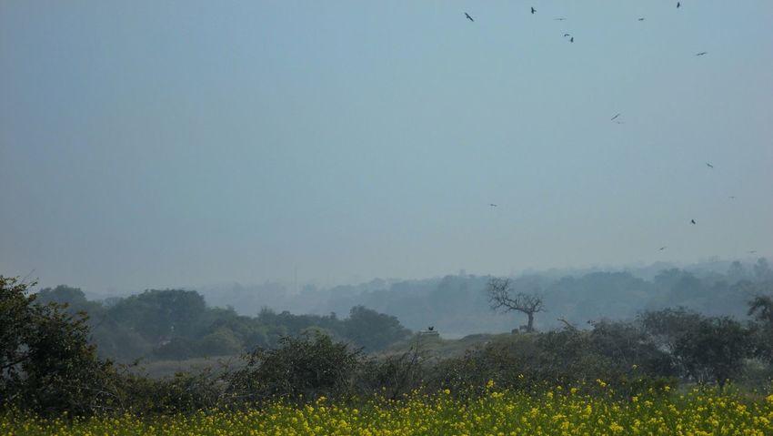 Landscape Mustard Fields Yellow Flowers