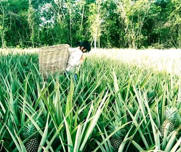 En la plantación de piña (Ananas) en Manuel Ávila Camacho, Quintana Roo, México. Amorporlaspiñas Beauty In Nature Plant Day Rural Scene Nature Green Color Agriculture Growth First Eyeem Photo