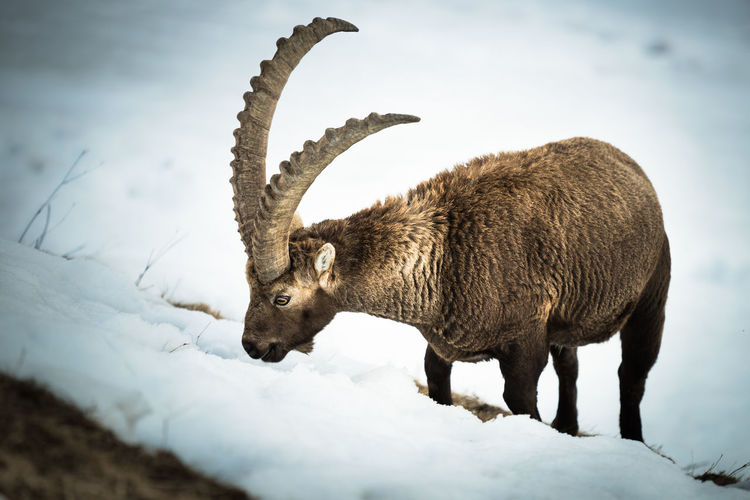 Limited food available... Ibex One Animal Animal Themes Mammal Animal Wildlife Animal Horned Winter Snow Outdoors Cold Temperature Nature