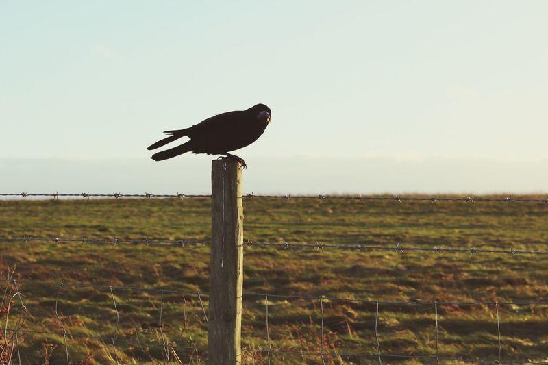 Posing crow Sky