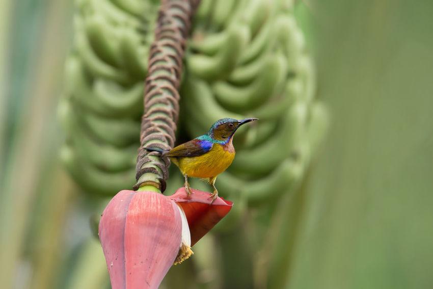 Colourful male sunbird. Banana Flower Banana Tree Bird Green Bananas Male Perching Birds Sunbird Colorful Tiny Birds