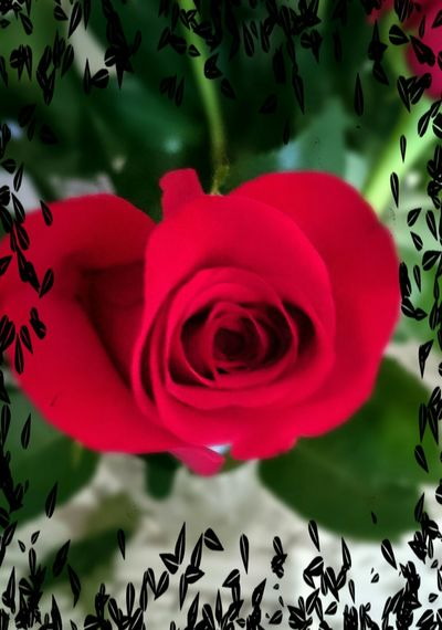 Happy Mother's Day! Rose🌹 Sony Xperia Z3 Boston Бостон День Матери. Red Flowers Flower Collection