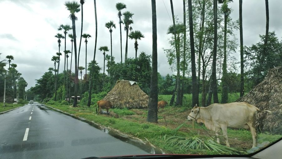 Village Village Life Village View Cow Animals Road Trees Greenary The Drive Beautiful India Beautifully Organized My Year My View Perspectives On Nature