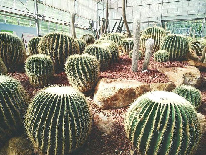 Hello World Cactuslover Cactus Thailand Chiang Mai | Thailand