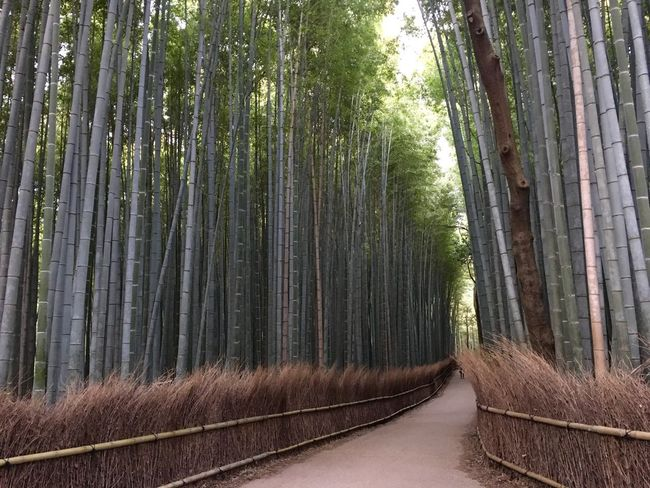 Muko Bamboo Grove Bamboo Florest Grove Tree Forest Bamboo - Plant Nature Tree Trunk Outdoors (null)Day Beauty In Nature No People Tranquility Bamboo Grove