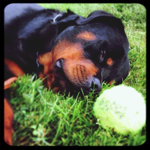 Dogs Got To Love Rottweilers Tired Dog