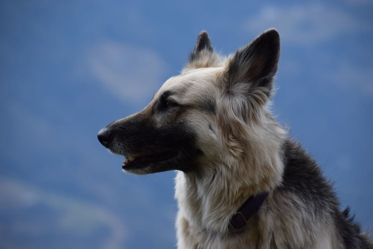 german shepard Animal Animal Body Part Animal Hair Animal Head  Animal Nose Animal Themes Close-up Cloud Cloud - Sky Day Focus On Foreground German Shepard Mammal Nature No People Outdoors Part Of Selective Focus Sky Snout