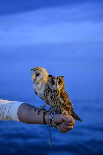 Portrait of two owls with the deep blue mediterranean sea in the background.