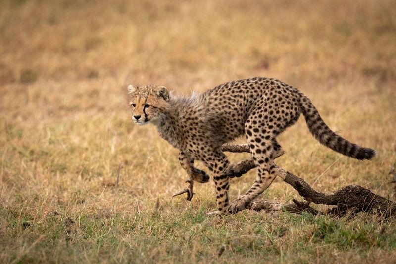 Full length of cheetah running on field