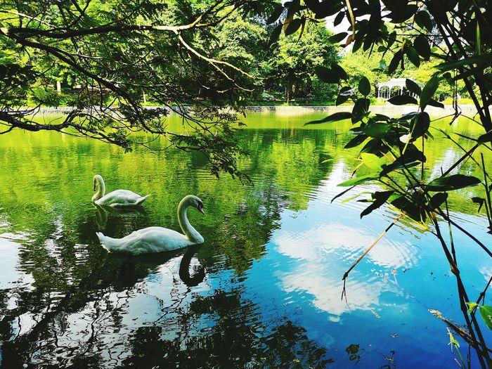 Botanical Garden Swan Animal Birds Lake Nature Peace Tree Water Reflection Growing Swan The Traveler - 2018 EyeEm Awards My Best Photo