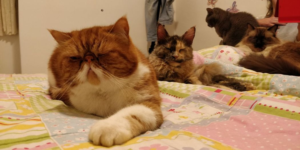 Pets Lying Down Pet Bed Domestic Cat Persian Cat  Maine Coon Cat Tabby Cat