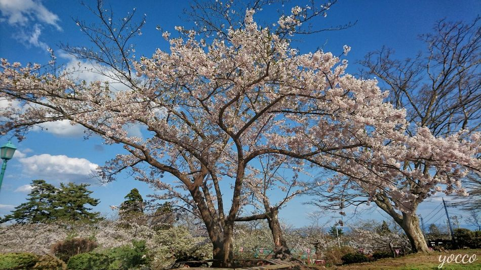 Tree Sky Outdoors Beauty In Nature Flower Nature Sakurafestival springtime EyeEm Gallery 桜 Cherry Tree Japan Culture 花見 Check This Out Eyeem Photography Cherry Blossoms Hellow World Japan Photography サクラ Spring Flowers EyeEm Nature Lover Beauty In Nature Nature_collection Sky And Clouds Sky Collection