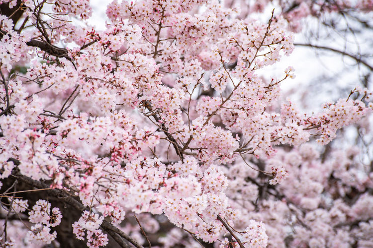Low angle view of pink cherry blossom