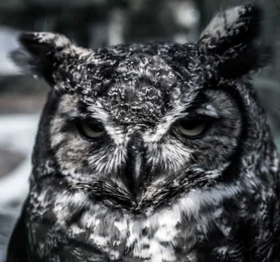 Animal Themes Animal Wildlife Animals In The Wild Bird Bird Of Prey Close-up Day Looking At Camera Mammal Nature No People One Animal Outdoors Owl Portrait
