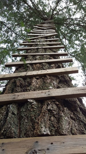 Tree Ladder Tree Fort Cedar Tree Forest Check This Out Outdoor Photography Stairs