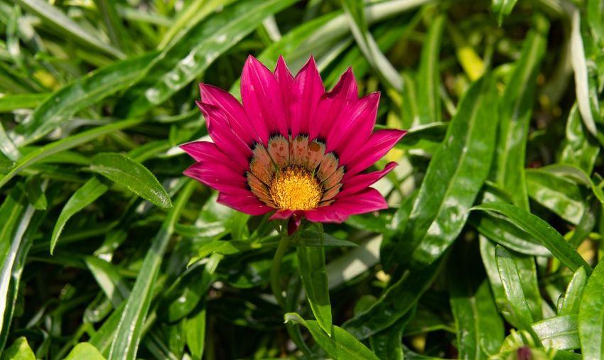 Delosperma Mittagsblumme Rot Flower Flowering Plant Plant Beauty In Nature Freshness Flower Head Growth Petal Inflorescence Vulnerability  Fragility Close-up Nature Green Color Leaf Plant Part Pollen No People Pink Color Purple