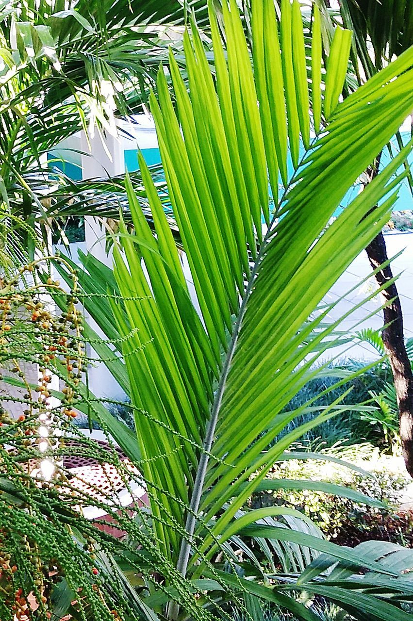 growth, green color, nature, leaf, beauty in nature, palm tree, day, tree, no people, outdoors, plant, banana tree, freshness, close-up