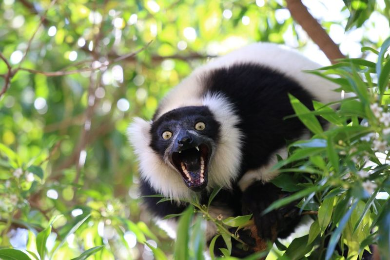 EyeEmNewHere Animal In Wild Jungle Shouting Lemur Face Lemur Agressive Animal Monkey Animal Themes Animal One Animal Animal Wildlife Mammal Tree Plant Primate Animals In The Wild Focus On Foreground Vertebrate Looking At Camera Portrait