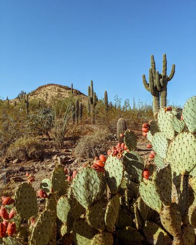Cactus growing on field against sky