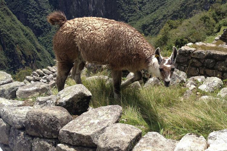 Sheep standing on rock