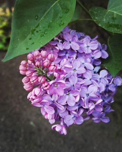 Purple Flower Spring Springtime Spring Has Arrived In Bloom Pollen Plant Life Blossom Magenta Botany