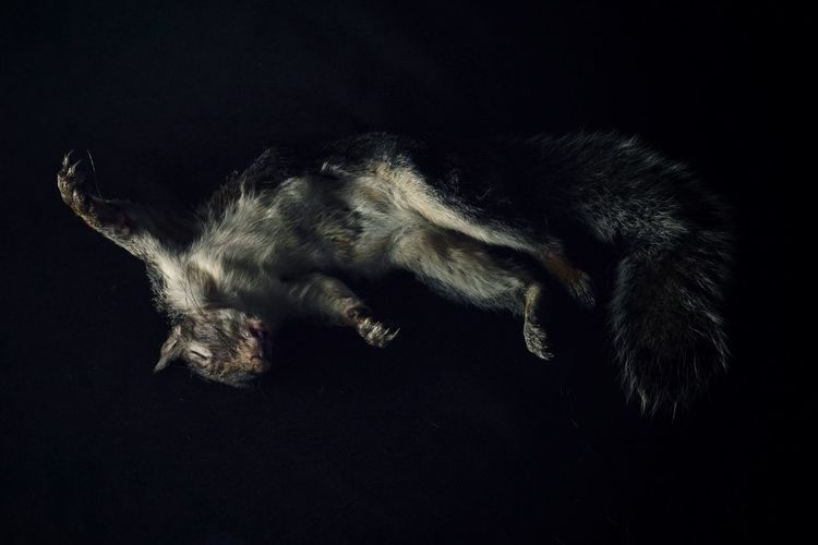 a still life.............. Chiaroscuro  Fur Coat Fur Texture Squirrel Squirrel Closeup Still Life Animal Animal Themes Mammal One Animal Black Background Tail Mortality Death Ribera Inspired Nature Photography Animal Wildlife Full Length Close-up