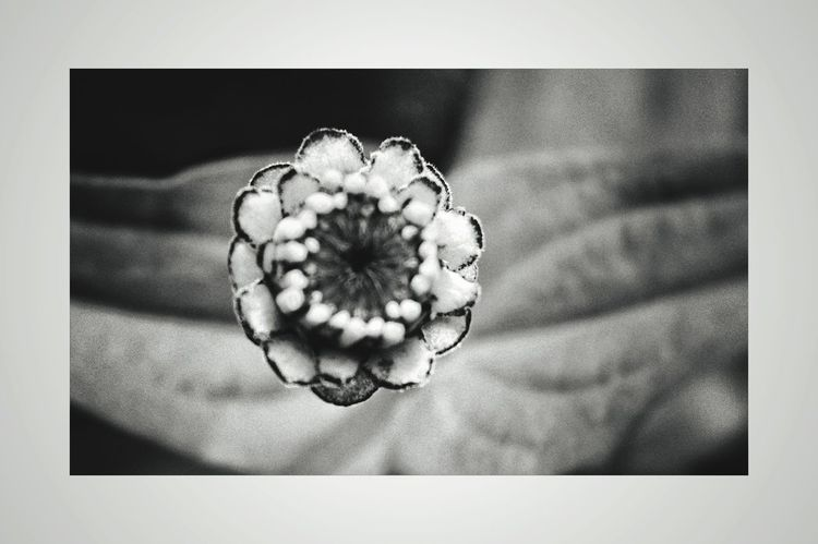 Framed. Black And White Black And White Photography Nikonphotography Nikon D3200 Macro Macro Photography Deapth Of Field Monochrome Flower Close-up No People Table Studio Shot Indoors  Directly Above Flower Head Nature