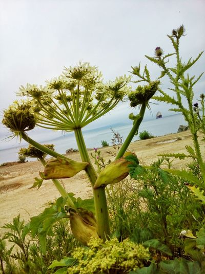 Fantastic plant Growth Plant Nature Day Outdoors Sky BIG Sea Beach Summer Heracleum Giganteum Heracleum Umbrella Apiaceae Umbelliferae Uncultivated Wild Flower Summergefühle